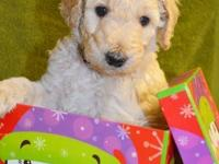 Beautiful STANDARD POODLE PUPPIES Apricot Female puppy