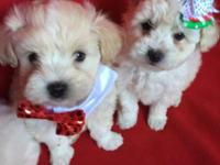 I have very cute Maltipoo, Yorkie, pomerian puppies.