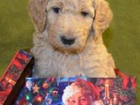 Beautiful STANDARD POODLE PUPPIES Apricot male puppy