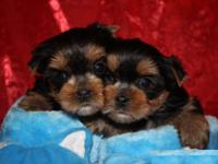We have 2 quality Male and Female Yorkie Puppies