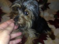 Adorable male and female Yorkie puppies available for a