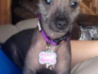 """Girl Plaything Xolo Puppy, """"Mexican Hairless""""; she is 8"""