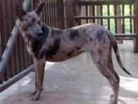 Xoloitzcuintle (Mexican Hairless) - Isis - Large -