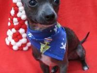 Xoloitzcuintle (Mexican Hairless) - Magical Merlin -