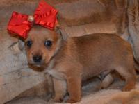 Tiny Chi-Weenie Male-- Chihuahua/Dachshund Designer