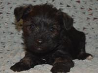 We are very excited about these baby faced Schnauzer