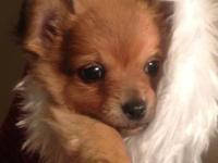 I have 2 male long haired xSmall chihuahuas, they are