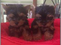 Teacups Purebreed Yorkies, AKC registered, they will be