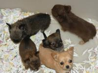 I have one female ShihPoo puppy available for rehoming.