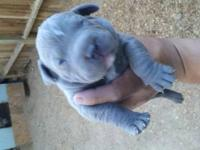 Xxl BULLYS puppies will be ready on 7/16-2013. Dont