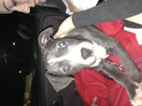 Pitbull Puppies available !!! 8 weeks old prepared to