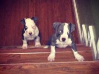 Pitbull Puppies for sale !!! 8 weeks old prepared to