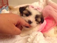 Baby doll Shih Tzu girl, she is imperial size