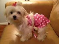 Maltese puppies - $1500 Strictly indoor home-raised