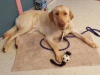 Yadi is a 2 yr. old, 75 lb. yellow lab mix.  He was
