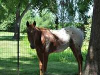 Need to sell my colt, he is a very level headed colt,