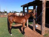 """Duke"" is a yearling Bay colt out of Slick Nita who is"