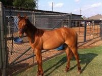 """Daisy"" is a yearling Red Dun Filly out of Peppy Way"