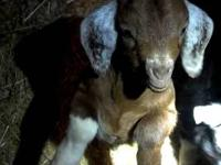 We have several yearling female goats for sale. They
