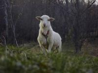 Katahdin/Dorper crosses, no shearing required because