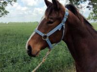 2013 GELDING BY POOL (SHAZOOM) OUT OF A DASH OF