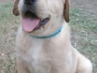 AKC Registered Yellow English Labrador Retriever male