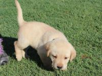 I have one boy puppy left. He is AKC registered Mother