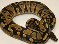 One year old male Yellow Belly Python. Very mellow and