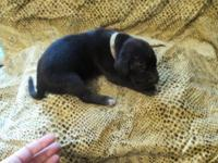 Black with white markings female AKC registered and. 25