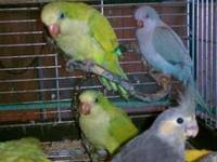 I have several Yellow Faced Quaker Parrots and a couple