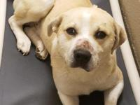 Yellow is available for adoption through RezQ Dogs. An