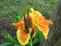 Gorgeous King Humbert Canna Lilies SPECIAL: Only $4.00