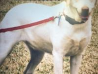 Yellow lab no papers, female spaded, loves children,
