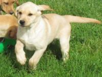 Beautiful yellow lab puppies ready for their forever