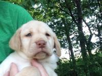 Sweet 8 week old yellow female lab puppy, raised with