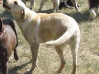 Great young yellow male lab puppy who needs a permanent