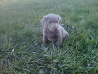 One male yellow lab pup available. Pups were born on