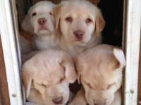 Sweet laboratory young puppies for sale, females and