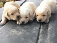 I have 8 yellow lab puppies for sale. 3 girls 5 males.