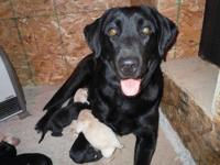 yellow lab for sale in michigan