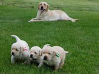 AKC Yellow Labrador pups available July 4th. OFA