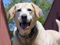 Yellow Labrador Retriever - Bailey - Large - Adult -