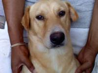 Yellow Labrador Retriever - Bingham - Medium - Adult -