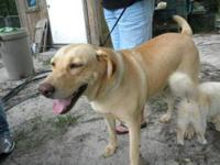 Yellow Labrador Retriever - Holly - Large - Adult -