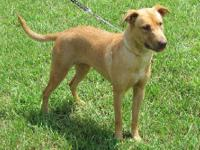 Yellow Labrador Retriever - Honey - Medium - Young -