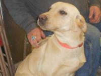 Yellow Labrador Retriever - Jack - Large - Adult - Male