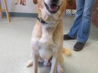 Yellow Labrador Retriever - Jackson (jack) - Large -