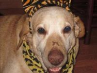 Yellow Labrador Retriever - Jackson - Large - Senior -