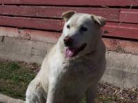 Yellow Labrador Retriever - Jake (female) - Large -