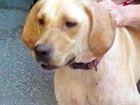Yellow Labrador Retriever - Lannie - Large - Adult -